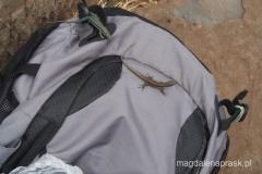 jaszczurki atakują mój plecak