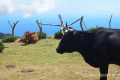 krowy nieco inne niż w Polsce...