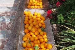 pomarańczka z tutejszych sadów