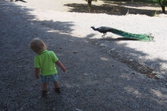 co to za dziwny ptak.. paw