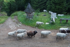 rano otoczyło nas stado owiec