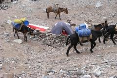 Muł, mieszaniec klaczy z osłem. Podobno ma siłę konia, a upór osła – idzie wolno, zupełnie nie przejmując się bagażem na swoim grzbiecie.