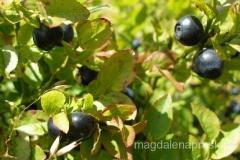 sierpień to pora jagodowych żniw