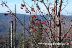 jarzębina - jeden z symboli jesieni
