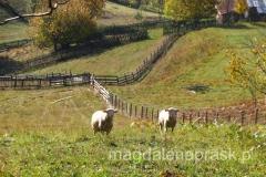 urocze ciekawskie owieczki