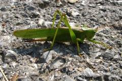 spotkaliśmy wielkiego zielonego pasikonika