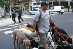 poranny spacer z psami pod opieką zawodowego wyprowadzacza