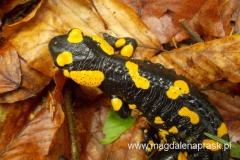 niezwykłe spotkanie z salamandrą czyli jaszczurem plamistym