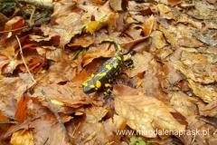salamandra - gatunek pod ścisłą ochroną gatunkową