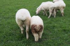 stado owiec pasie się na łące w Zakopanem