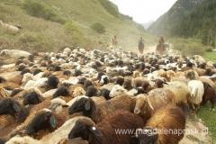 spęd owiec z gór