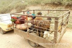 niektóre owieczki mają lepiej, jadą sobie
