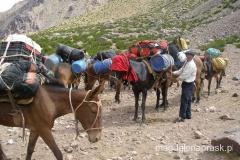 muły służące do transportu w Andach