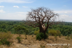 Tanzania - sawanna, wielki baobab