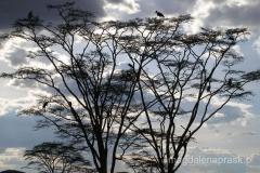 Tanzania - Serengeti - upiorne drzewo i jego mieszkańcy