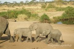 Tanzania - Serengeti - słoniowa rodzina na spacerze
