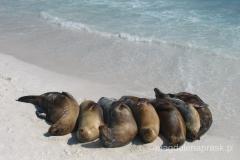 Ekwador - Galapagos - lew morski