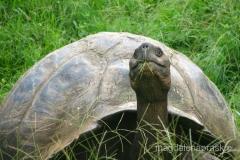 Ekwador - Galapagos - żółw galapagoski