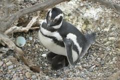 Argentyna - kolonia pingwinów w Punta Tombo