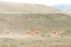 Ekwador - Aleja Wulkanów - dzikie guanako