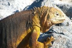 Ekwador - Galapagos - lengwan lądowy