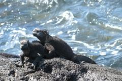 Ekwador - Galapagos - lengwan morski