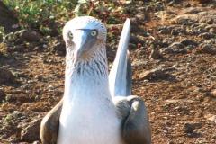 Ekwador - Galapagos - głuptak niebieskonogi