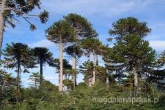 Chile - okolice Pucon - araukaria - drzewa dziś bardzo rzadko spotykane