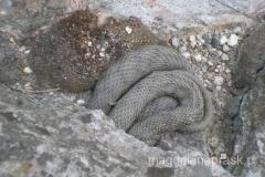 wąż Eskulapa (niejadowity)