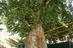 olbrzymie drzewo dające pożądany cień - strasznie tam było gorąco