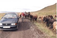 Islandia - stado dzikich koni