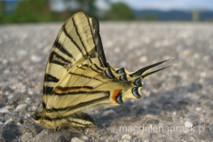 motyl paź królowej