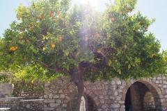 drzewo pomarańczowe