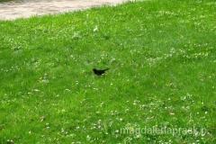 ptak z żółtym dziobem w Parku Zdrojowym