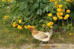 szczęśliwa kura