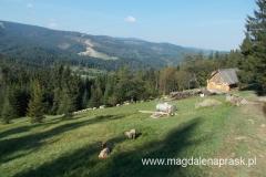 wypas owiec - na horyzoncie zryte przez infrastrukturę narciarską zbocze górskie