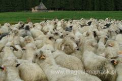 owce są hodowane głównie dla mleka i wełny