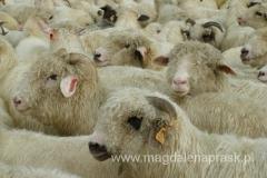 zakolczykowane owieczki