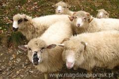 owieczki z zaciekawieniem mi się przypatrują - to bardzo sympatyczne zwierzaki