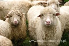 owce to ciekawskie zwierzaki i póki trzymam się na bezpieczną odległość nie boją się mnie