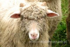 ta owca trochę straszna...