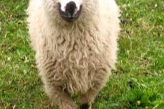 smukłe racice dodają owieczce lekkości