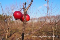 okolice miejscowości Ossa to głównie lasy i sady jabłkowe