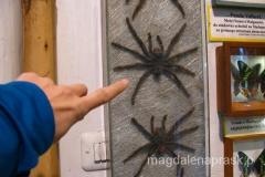 naprawdę wielkie pająki