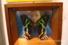 oraz naprawdę wielkie i bardzo kolorowe motyle