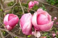 zakwitły magnolie - a więc wiosna!