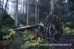 malownicze drzewo wyrwane z ziemi z korzeniami