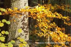 piękny jesienny las mieniący się żółtymi kolorami