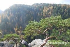 sosenka karłowata na szczycie skały gdzie kiedyś stał Zamek Strmen