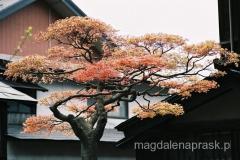 drzewko w japońskim stylu